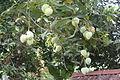 Mango Fruits.JPG