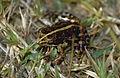 Mantellid Frog (Mantidactylus femoralis) (9657743208).jpg