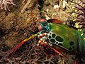Mantis shrimp near Nusa Kode Island.JPG