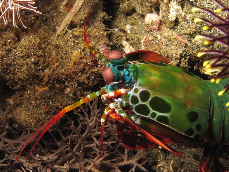 File:Mantis shrimp near Nusa Kode Island.JPG