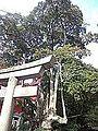 Manzoku-Inari-jinja Shintô Shrine - Ilex rotunda.jpg