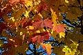 Maple leafs in autumn.jpg