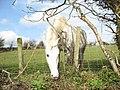 March gwyn-White horse at Cae Hywel - geograph.org.uk - 357966.jpg