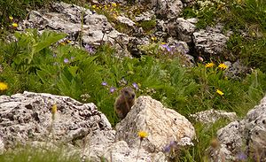Prairie dog in the Odle natural park, South Tyrol, Italy
