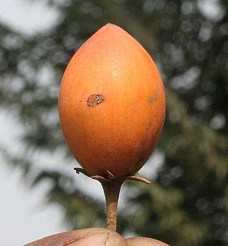 Mimusops elengi - The ripe fruit has many traditional uses.