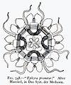 Medusae of world-vol03 fig348 Ephyra prometor.jpg