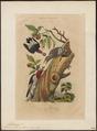 Melanerpes erythrocephalus - 1838 - Print - Iconographia Zoologica - Special Collections University of Amsterdam - UBA01 IZ18700401.tif