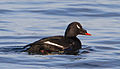 Melanitta deglandi -Iceland -swimming-8 (3).jpg