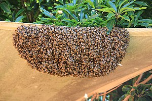 Swarming (honey bee) - Hi-resolution picture of a swarm of bees located in Melbourne, Australia