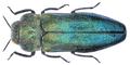 Meliboeus amethystinus (Olivier, 1790).png