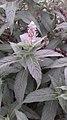 Menthe sylvestre (Mentha longifolia).jpg