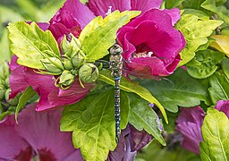 Migrant hawker (Aeshna mixta) male on rose mallow (Hibiscus syriacus).jpg