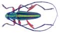 Mionochroma cf. aureotinctum (Bates, 1870) Male (34171140954).png