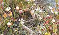 Mirtillo bianco 24 09 2007.JPG