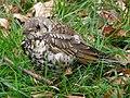 Mistle Thrush fledgling, Bratley, New Forest - geograph.org.uk - 469622.jpg