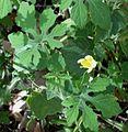 Momordica charantia L. - Flickr - Alex Popovkin, Bahia, Brazil (5).jpg