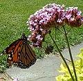 Monarch-tracy.jpg