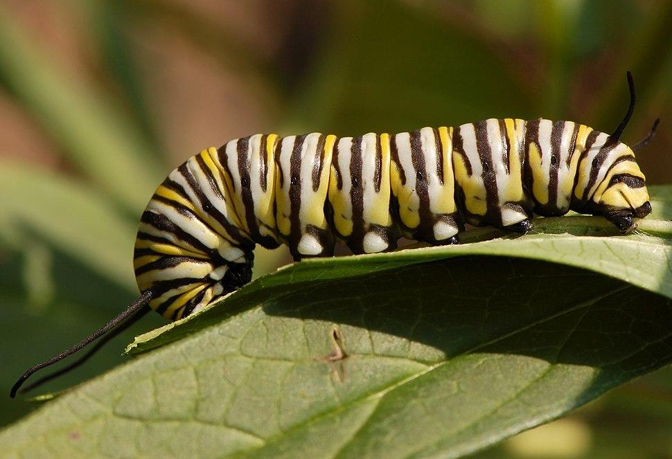 Monarch Butterfly Danaus plexippus Feeding Down 3008px (cropped)