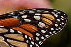 Monarch Butterfly Danaus plexippus Wing 2400px.jpg
