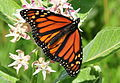 Monarch Nectaring on Showy Milkweed Seedskadee NWR (16041535044).jpg