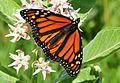 Monarch Nectaring on Showy Milkweed Seedskadee NWR (16041535044).jpg