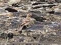 Mongolian Finch (Bucanetes mongolicus) (42276218815).jpg