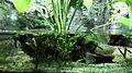 Monodactylus argenteus tank.jpg