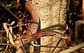 Montane Trinket Snake Coelognathus helena monticollaris by Dr. Raju Kasambe DSCN5610 (9).jpg