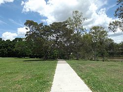 Moreton Bay figs and path at Sherwood Arboretum.jpg