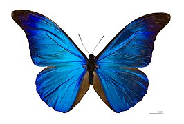 Morpho rhetenor rhetenor MHNT