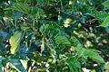 Morus Alba 3 2012-07-28.jpg