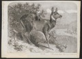 Moschus moschiferus - 1862 - Print - Iconographia Zoologica - Special Collections University of Amsterdam - UBA01 IZ21500204.tif