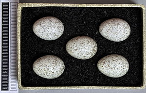 White wagtail - Eggs, Collection Museum Wiesbaden, Germany