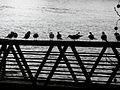 Mouettes sur une passerelle, à Asnières.JPG