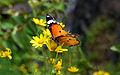 Mountain Butterfly in india.jpg