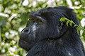 Mountain gorilla (Gorilla beringei beringei) 06.jpg