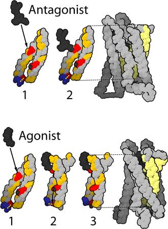 Μ-opioid receptor - Image: Mu opioid receptor