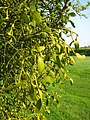 Muchelney Mistletoe - geograph.org.uk - 1261816.jpg
