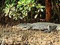 Mugger Crocodile Crocodylus palustris Zuari Goa by Dr. Raju Kasambe DSCN0812 (4).jpg