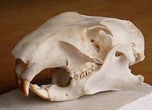Schädel Murmeltier