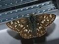 Muschampia tessellum - Tessellated skipper - Толстоголовка мозаичная (27131258028).jpg