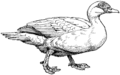 Muscovy Duck (PSF).png