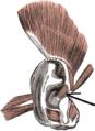 Musculushelicisminor.png