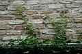 Muurbegroeiing te Brugge - 369778 - onroerenderfgoed.jpg