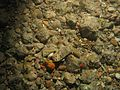 Mycalidae WBRF CEND3013 HP15 STN 206 A1 008.jpg