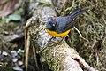 Myioborus miniatus Monteverde 05.jpg