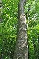 Mykulyntsi-buky-n4-15056874.jpg