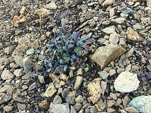 Myosotis monroi - Image: Myosotis monroi