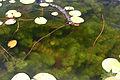 Myriophyllum heterophyllum 5457849.jpg