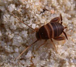 Ein typischer Vertreter ist die mitteleuropäische Ameisengrille Myrmecophilus acervorum, Weibchen